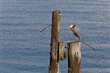 WA, Seattle, Great Blue Heron bird, Elliott Bay