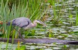 Great Blue Heron bird, Juanita Bay Wetland, Washington