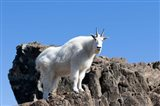 Mountain Goat Climbing Rocks