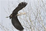 Great Blue Heron, flying back to nest with a stick