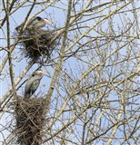 Great Blue Herons, on nest at rookery