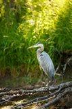 Great Blue Heron, Washington State