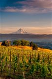 Mt Hood From A Vineyard