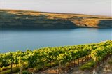 Vineyard Overlooking The Columbia River