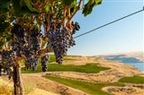Merlot Grapes Hanging In A Vineyard