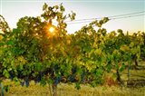 Sun Burst In A Vineyard