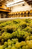 Bin Of Chardonnay Grapes Awaits Beind Crushed