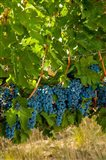 Cabernet Sauvignon Grapes Near Harvest