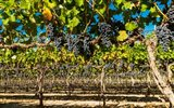 Petit Verdata Block In Red Mountain At Harvest
