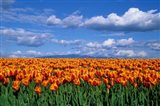 Orange Tulips In Skagit Valley, Washington State