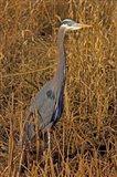 Washington, Seattle, Discovery Park Great Blue Heron