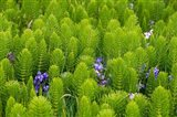 Horsetail, Wild Hyacinth, And Grays Harbor