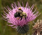 Thistle and bumble bee