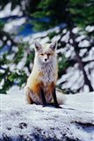 Red Fox on Snow Bank, Mt Rainier National Park, Washington