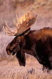 Bull Moose, Grand Teton National Park, Wyoming