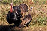 Wild Turkey Tom and Hen