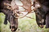 Close-Up Of Two Bull Moose Locking Horns