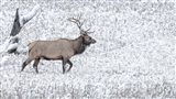 Bull Elk Walks In The Snow