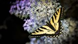 Western Tiger Swallowtail Butterfly On A Lilac Bush