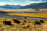 Bison Herd Feeding, Lamar River Valley, Yellowstone National Park