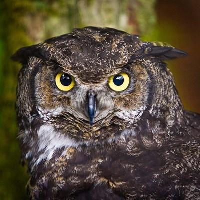Alaska Raptor Center, Sitka, Alaska Close-Up Of A Great Horned Owl Poster by Janet Muir / DanitaDelimont for $40.00 CAD