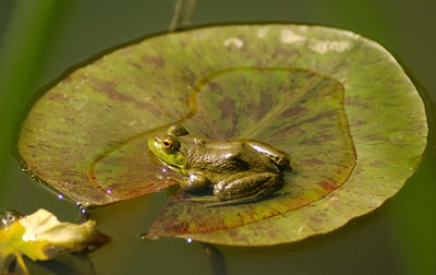 Californian Frog On A Lilypad Poster by John Alves / Danita Delimont for $57.50 CAD