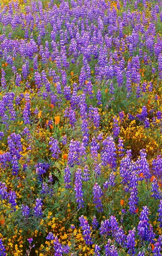 Californian Poppies And Lupine Poster by John Barger / DanitaDelimont for $80.00 CAD