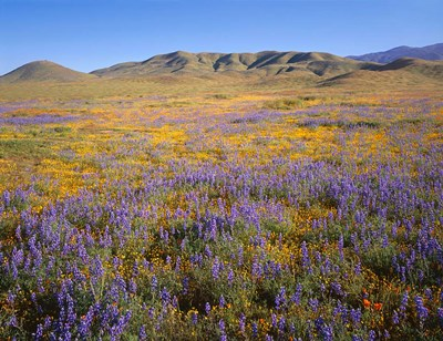 Wildflowers Bloom Beneath The Caliente Range, California Poster by John Barger / DanitaDelimont for $92.50 CAD