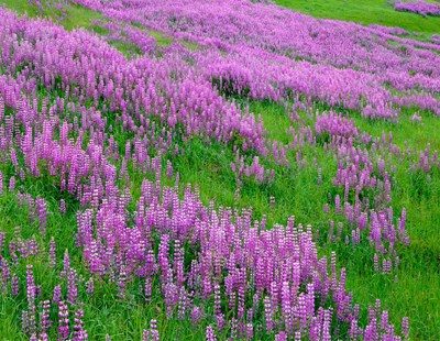 Spring Lupine Meadow In The Bald Hills, California Poster by John Barger / DanitaDelimont for $92.50 CAD