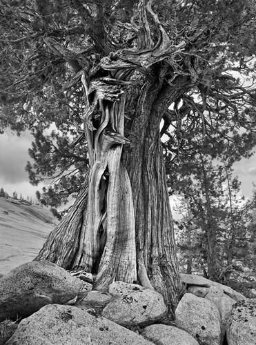 California, High Sierra Juniper Tree (BW) Poster by John Ford / DanitaDelimont for $47.50 CAD