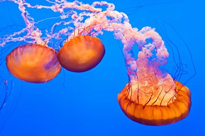 Three Sea Nettles At The Monterey Bay Aquarium Poster by Russ Bishop / DanitaDelimont for $68.75 CAD