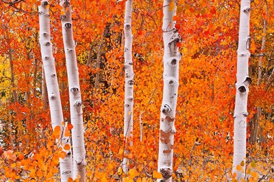Bright Autumn Aspens Along Bishop Creek Poster by Russ Bishop / DanitaDelimont for $68.75 CAD