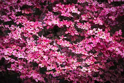 Pink Dogwood, California Poster by Russ Bishop / DanitaDelimont for $53.75 CAD