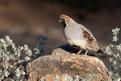 Gambel's Quail On A Rock Poster by Jaynes Gallery / Danita Delimont for $42.50 CAD