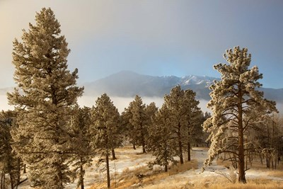 Frost On Ponderosa Pine Trees Of The Pike National Forest Poster by Jaynes Gallery / Danita Delimont for $47.50 CAD