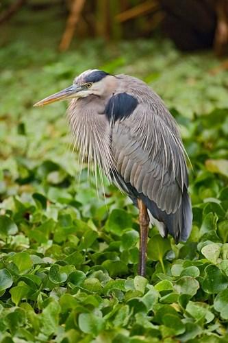 Great Blue Heron bird Corkscrew Swamp  Florida Poster by Adam Jones / Danita Delimont for $40.00 CAD
