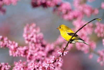American Goldfinch In Eastern Redbud, Marion, IL Poster by Richard & Susan Day / DanitaDelimont for $42.50 CAD
