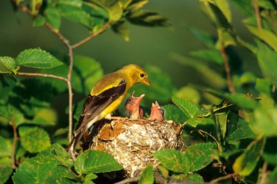 American Goldfinch With Nestlings At Nest, Marion, IL Poster by Richard & Susan Day / DanitaDelimont for $68.75 CAD