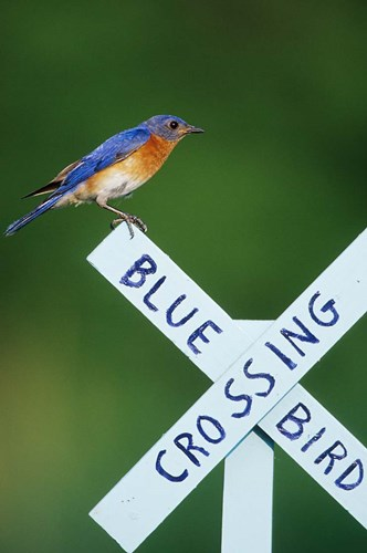 Eastern Bluebird On Crossing Sign, Marion, IL Poster by Richard & Susan Day / DanitaDelimont for $42.50 CAD