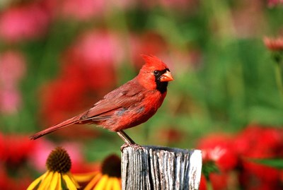 Northern Cardinal On A Fence Post, Marion, IL Poster by Richard & Susan Day / DanitaDelimont for $42.50 CAD