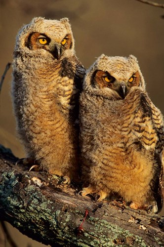 Great Horned Owls, Illinois Poster by Richard & Susan Day / DanitaDelimont for $42.50 CAD