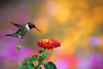 Ruby-Throated Hummingbird At Dallas Red Lantana Poster by Richard & Susan Day / DanitaDelimont for $42.50 CAD
