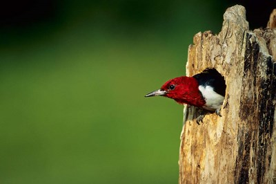 Red-Headed Woodpecker In Nest Cavity, Illinois Poster by Richard & Susan Day / DanitaDelimont for $68.75 CAD