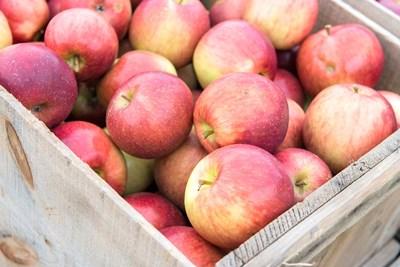 Apple Harvest, Massachusetts Poster by Jim Engelbrecht / Danita Delimont for $60.00 CAD