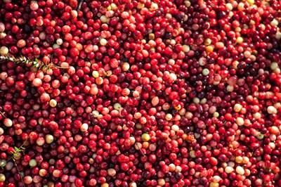 Cranberry Close-Up, Massachusetts Poster by Lisa S. Engelbrecht / Danita Delimont for $51.25 CAD