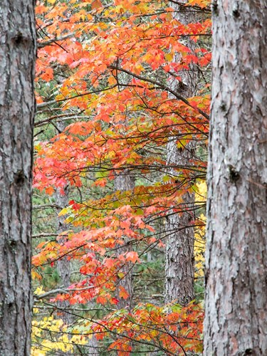 Fall Pine Trees In The Forest, Michigan Poster by Julie Eggers / Danita Delimont for $38.75 CAD