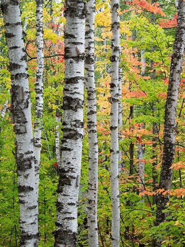 Birch Trunks And Maple Leaves, Michigan Poster by Julie Eggers / Danita Delimont for $38.75 CAD