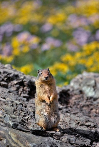 Columbia Ground Squirrel Close-Up Poster by Jaynes Gallery / Danita Delimont for $58.75 CAD