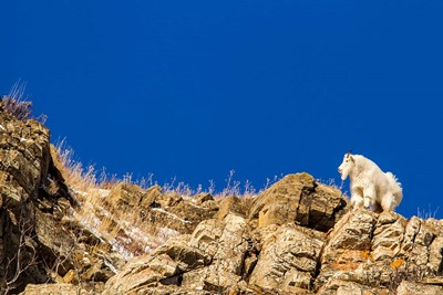 Billy Mountain Goat In Glacier National Park, Montana Poster by Chuck Haney / Danita Delimont for $42.50 CAD