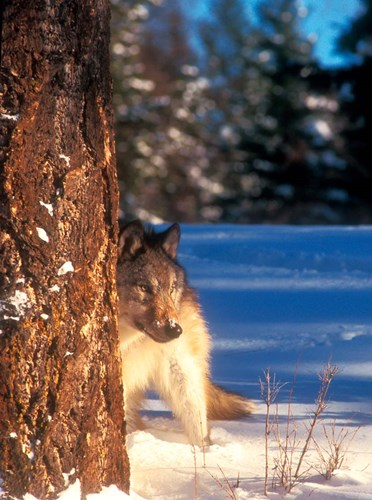 A Gray Wolf On The Alert In Winter Poster by John Alves / Danita Delimont for $47.50 CAD